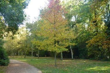 arbre-liquidambar.jpg