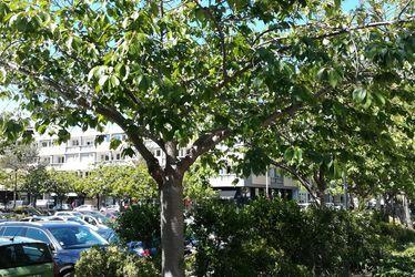 Cerisier du Japon, place Jules Ferry