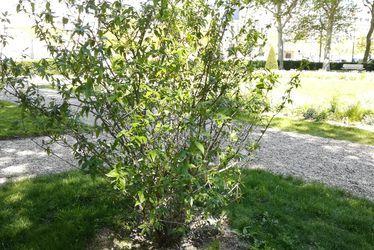 Chimonanthe précoce du square Erignac