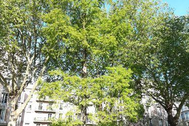 Cyprès chauve du square Saint-Roch