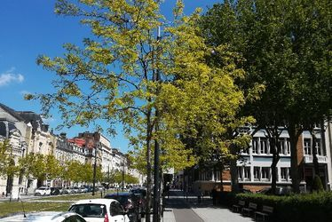 Févier d'Amérique sur le boulevard de Strasbourg
