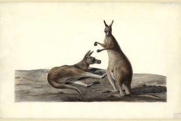 kangourous-charles-alexandre-lesueur.jpg
