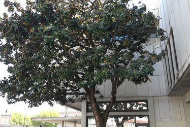 Magnolia grandiflora de la Bibliothèque Armand Salacrou