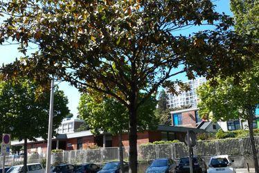 Magnolia grandiflora, rue de Tourneville