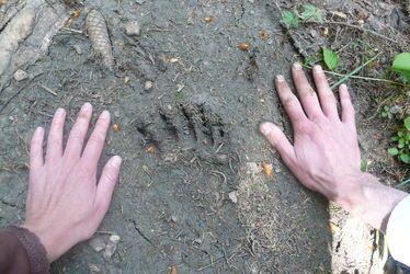 """""""Ma premiere conférence"""" : sur les traces des ours"""