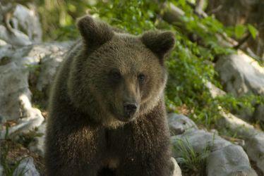 Ours, frère sauvage de l'homme