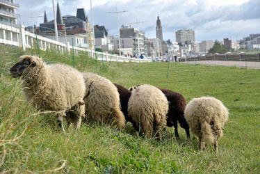 Dans le cadre de sa nouvelle politique publique Le Havre Nature, la Ville du Havre développe l'éco-pâturage