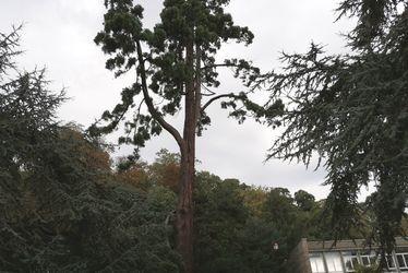 Séquoia géant du Parc Hauser