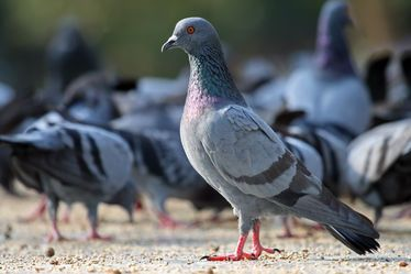 rock_pigeon_columba_livia.jpg