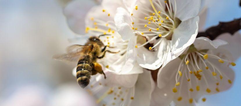 abeille-frelons-asiatiques.jpeg