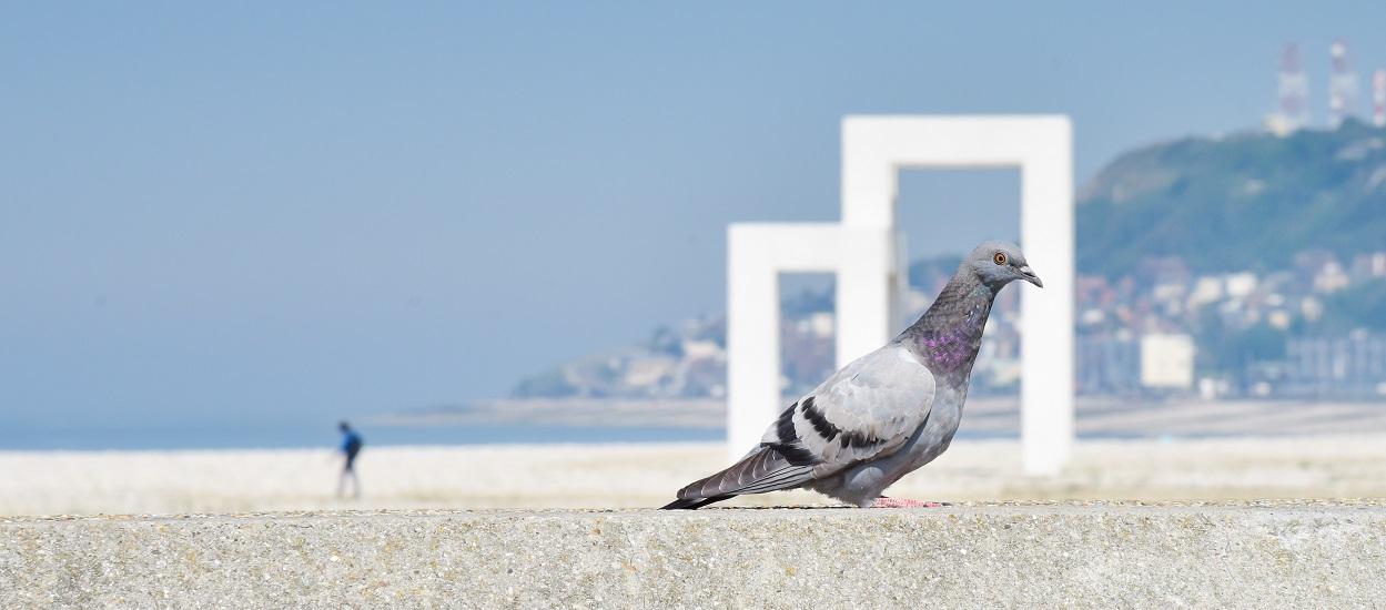 pigeon-goelands.jpg